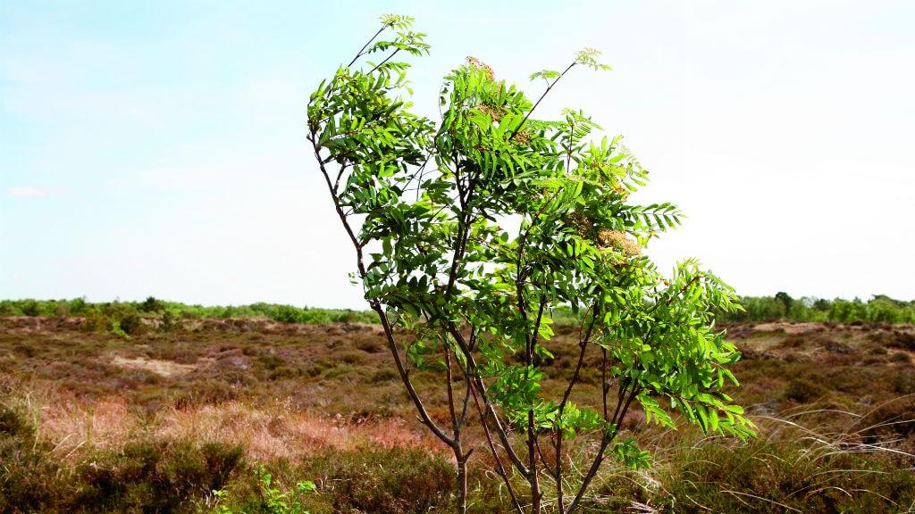 Klitplantage på Fanø i vinden