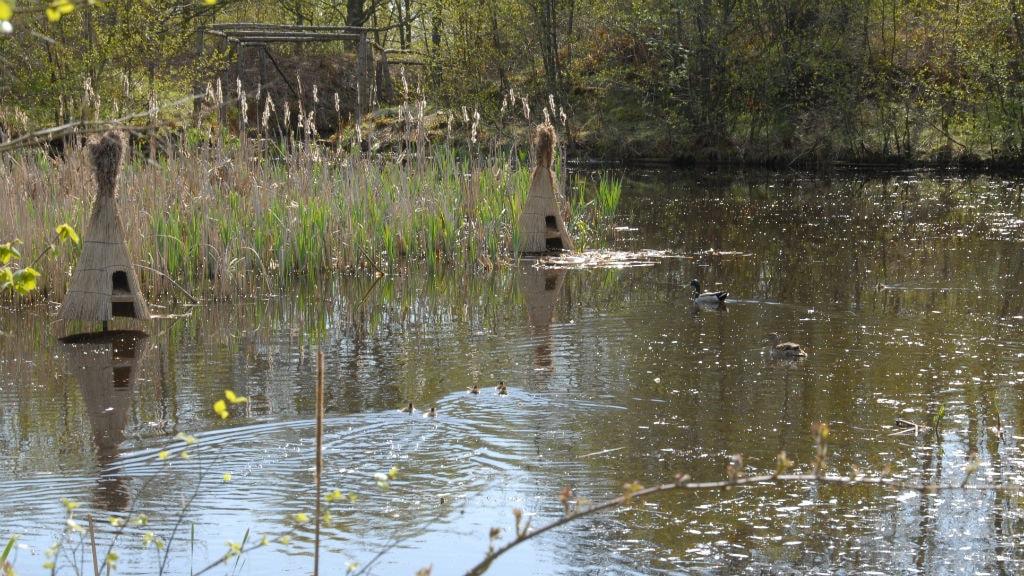 Fugle i søen ved Sønderho Gamle Fuglekøje på Fanø