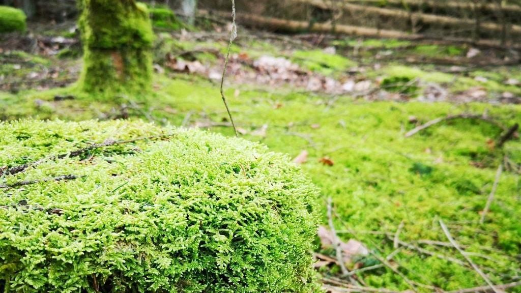 Træstub med mos