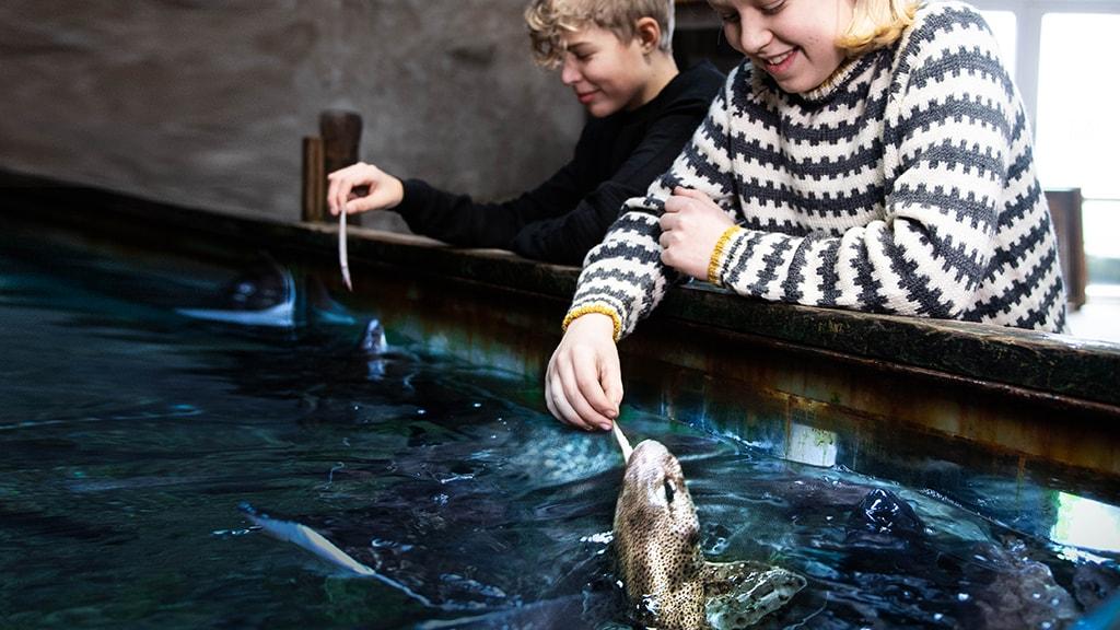 Ugentlige hajfodringer