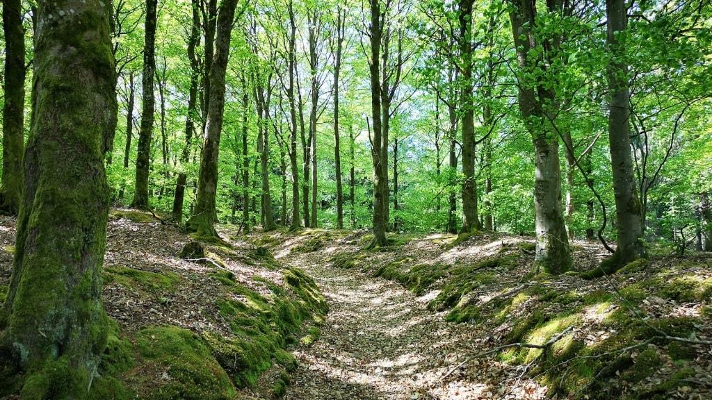 Klosterheden - Sti mellem bøgetræerne