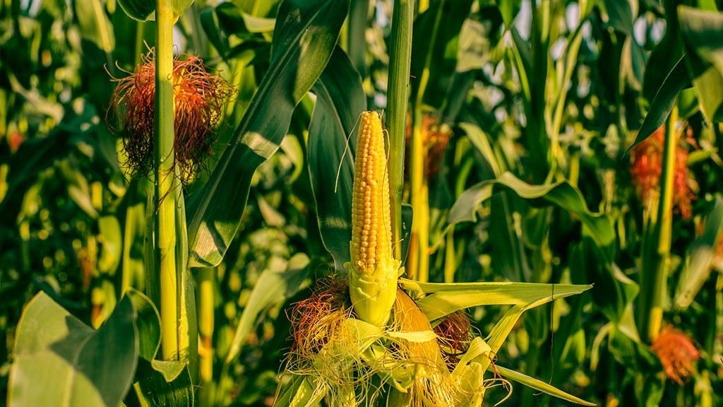 Skåstrup Skovgårde-majs på mark