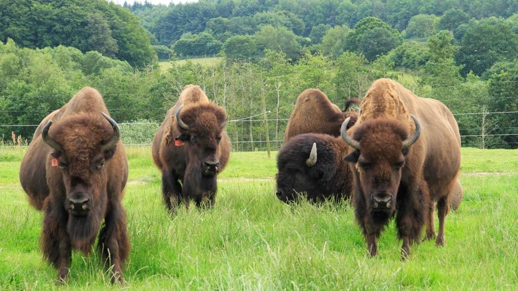 Bison Safari at Ditlev...