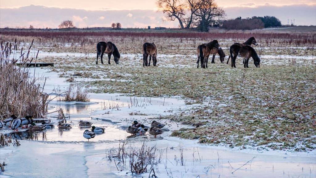 Vilde Heste på Påø ved Skovsgaard Gods